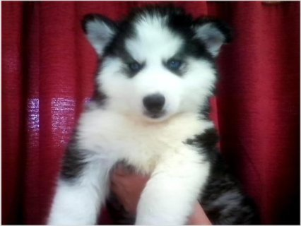 Pretty Blue Eyes Siberian Husky Male & Female Puppiesy