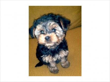 Yorkie puppies for good home56