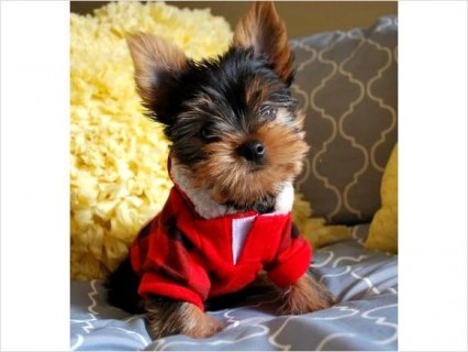 Adorable teacup yorkie puppies free for home6