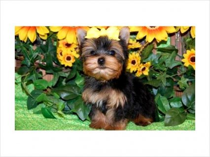 Precious Yorkie puppies available6