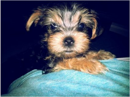 Gorgeous YORKIE PUPPIES!4