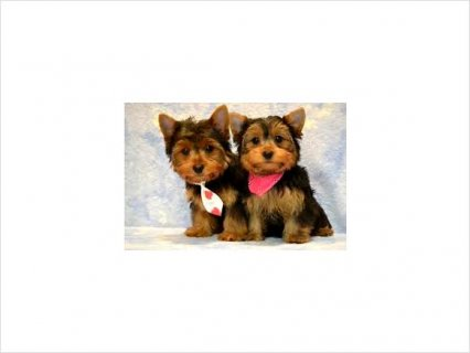 Adorable AKC Registered Yorkie Puppies87