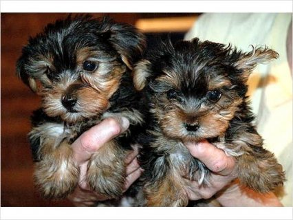 Beautiful Intelligent Health Guaranteed Pure Yorkie Puppies6