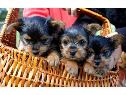 Very friendly Yorkie Puppies Available 68