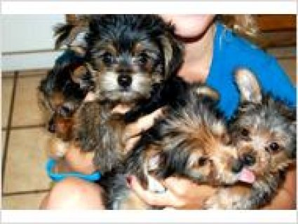 Family raised Party Yorkie puppies231