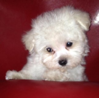 BEAUTIFUL BABY DOLL MALTESE PUPPIES