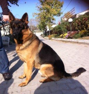 كلب جيرمن شيبرد بيور عالي