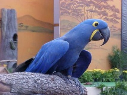 Affectionate Hyacinth Macaw Parrot