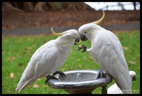 umbrella cockatoo For adoption