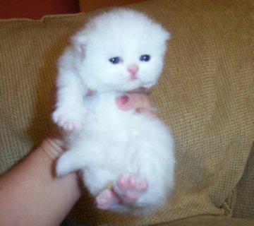 Cute White Persian female kitten for adoption8