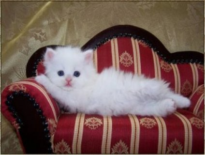 Cute Persian Kittens for Sale3111111