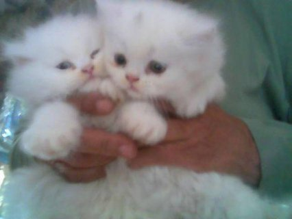 Persian Kittens for sale.77