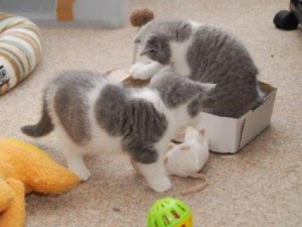 British short hair Kitten Available