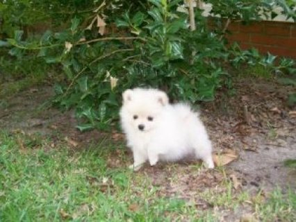 Beautiful Female Pomeranian Puppy Available