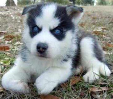 صور Golden Blue Eyed Male Female Siberian Husky Puppy 1