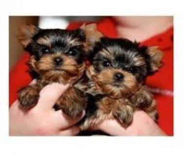 Yorkie Puppies,,