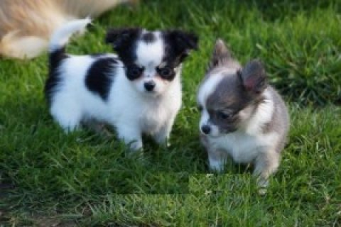 Chihuahua Puppies for Adoption.