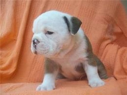 English bull dog puppies available