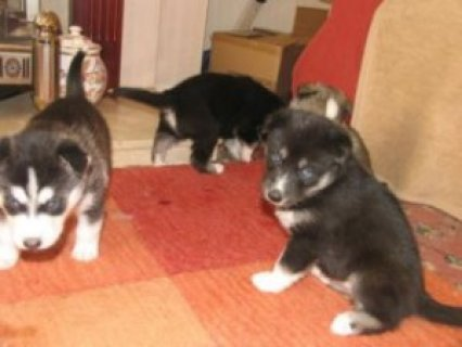 Purebred Siberian Huskies
