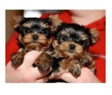 Gorgeous Yorkie Puppies Available