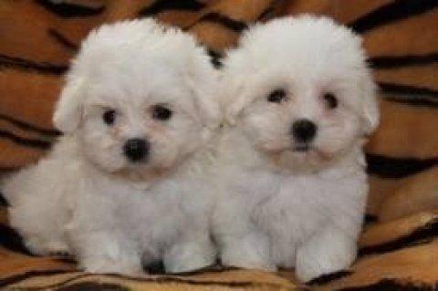 Maltese Puppes for Adoption