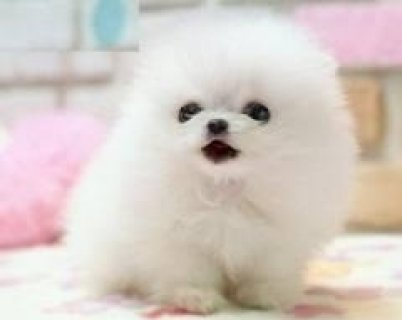 GorgeousTea cup Pom Puppies Available