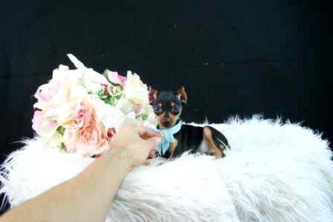 Miniature_pinscher puppies
