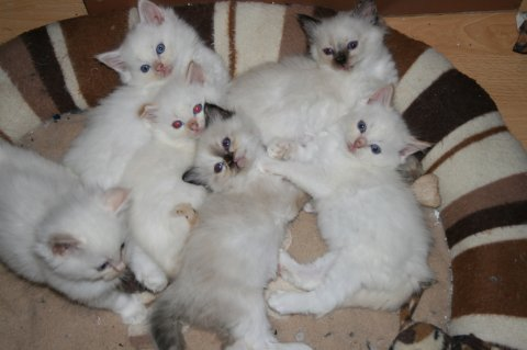 ragdol  Kittens for Adoption
