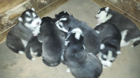 Purebred male and female siberian husky  puppies