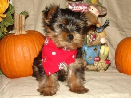 Micro pocket teacup Yorkie puppies5
