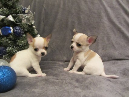 smooth coated Chihuahua puppy\'s