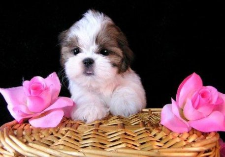 صور Healthy Home raised shih utzu puppies  available 1