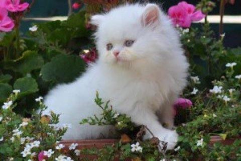 CFA registered Persian kittens, male and female. Shots/wormings