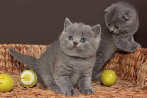 British Short/Long Hair Kittens For Sale  2w