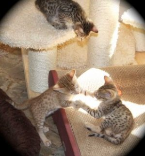 Male and female Savannah kittens22