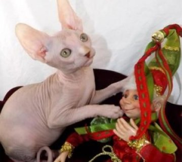 صور Purrbalds Sphynx Cats   1