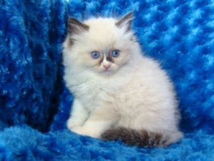 Ragdoll Kittens Available  4333
