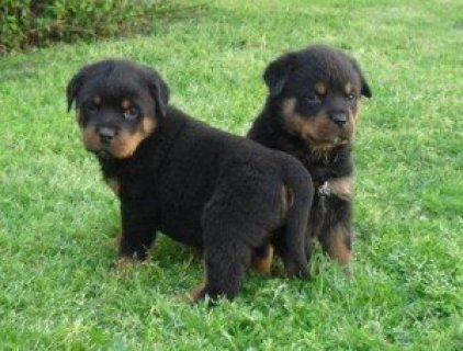 STUNNUNG AND OUTSTANDING MALE AND FEMALE ROTTWEILER PUPPIES.