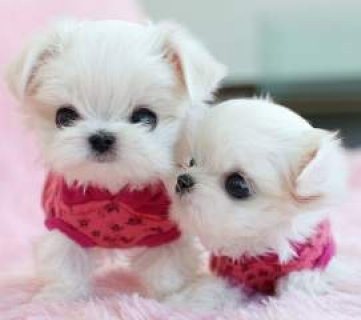 صور Quality Maltese Puppies for Free 1
