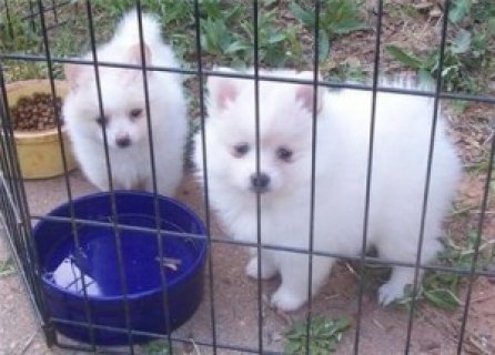 Pomeranian Puppies To Go Now