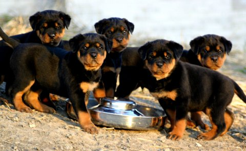 Rottweiler Puppies for sale1