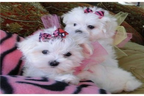 Home trained Maltese puppies for adoption