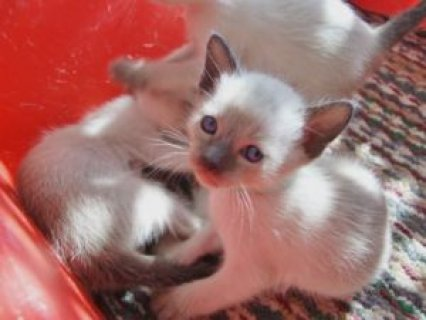 صور Sealpoint Siamese kittens	 1