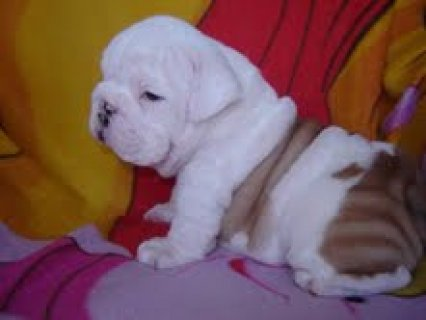 English Bulldog Puppies For Sale4