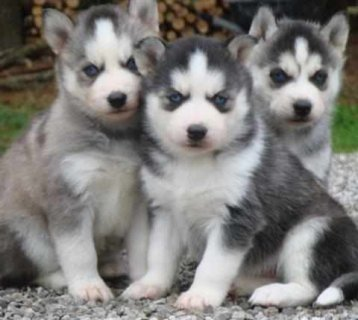 Cute and adorable Siberian Husky puppies for good home