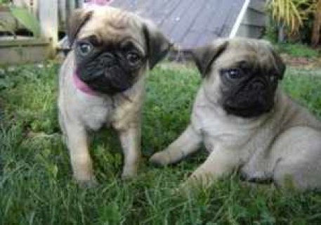 Excellent Male And Female Pug Puppies For Sale Now Ready To Go H