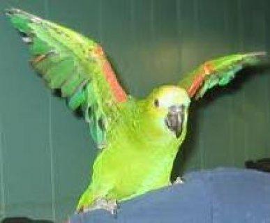 full weaned amazon parrots for adoption