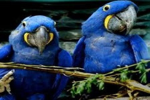 Cute Hyacinth Macaws for Sale