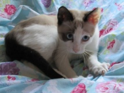 GCCF Registered Snowshoe Kittens