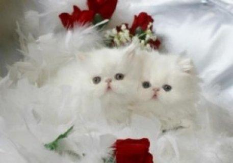 Kittens For Sale,,,